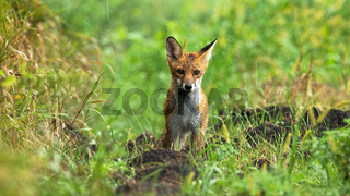 Wet red fox standing on meadow on summer rainy day