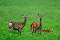 Sika-deer, Sika-nippon