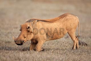 Feeding warthog