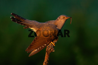 Common cuckoo holding worm on tree in summer sunset