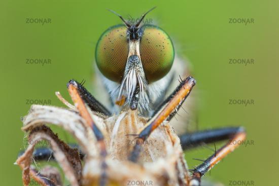robber flies