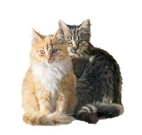 Fluffy red and brown cats isolated on white background. Digital illustration.