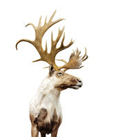 Large  deer buck with big horns on white background
