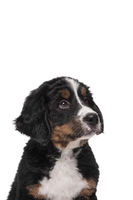 Portrait of a bernese mountain dog puppy looking up on a white background