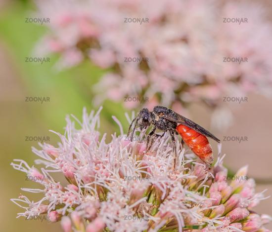 Blood bee 'Sphecodes albilabris'
