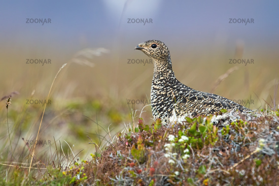 Rock ptarmigan sitting on moorland in Icenalnd from side