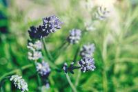 purple lavender flowers against defocused green background
