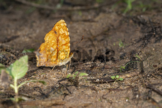 Common Jester butterfly, Symbrenthia lilaea, Garo Hills, Meghalaya, India