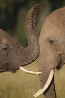 Loving elephants, Kenya