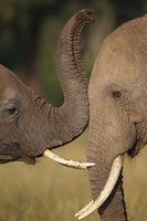 Loving elephants, Kenya