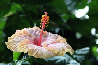 Beautiful flower of Hibiscus in tropical garden close up
