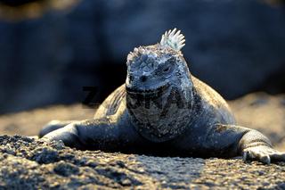 Marine Iguana perched on the rocks, Punta Espinosa, Fernandina Island, Galapagos Islands, Ecuador