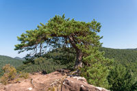 Single crippled pine stands on a mountain top on rocks in front of a clear blue sky