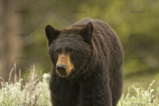 Close Black Bear