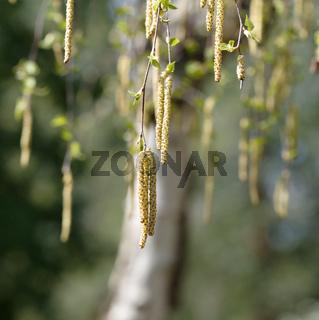 Blütenkätzchen einer Birke im Frühling