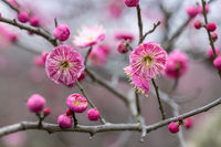 beautiful red plum blossoming
