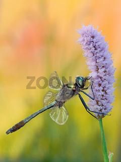 Falkenlibelle