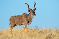 Male kudu antelope (Tragelaphus strepsiceros) against a blue sky
