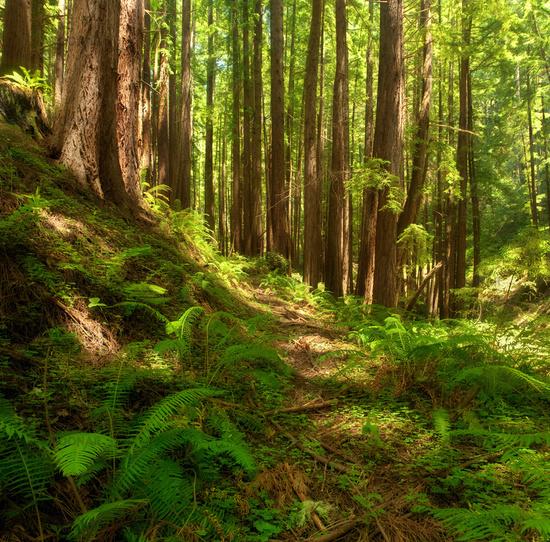 Dreamy California Redwoods