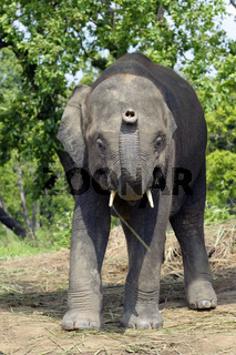 Asian Elephant of Nepal