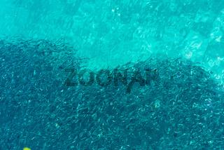 Fischschwarm im kristallklaren Wasser des Golfs von Tomini in Sulawesi