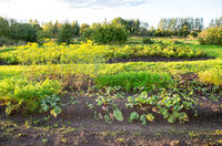 Beetroot, carrots and other vegetables are growing at the vegetable garden