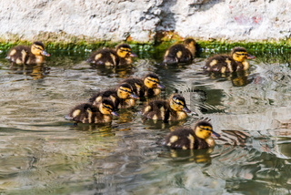 Group of duckling
