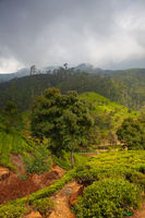 Nuwara Eliya tea plantation in Sri Lanka.