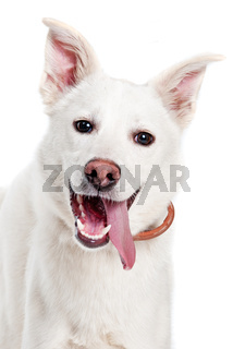 White dog look in camera on white background