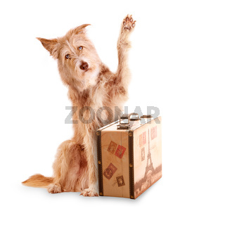 Dog sitting beckoning behind a suitcase isolated