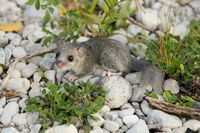 fat dormouse in nature