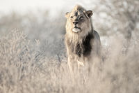 Dominant Kalahari Lion