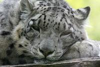 Leopard 019