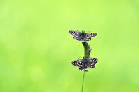 two grizzled skipper
