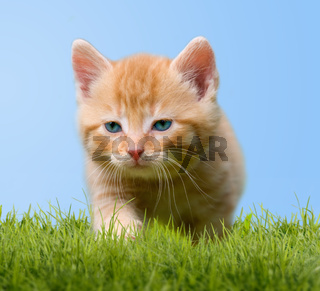 young cat on green meadow with blue sky