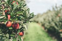 ripe red apples on tree at apple orchard