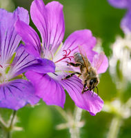 Bee pollinating on a purple geranmium flower blossom