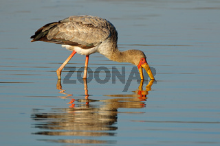 Yellow-billed stork (Mycteria ibis) foraging in shallow water