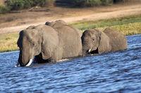 Afican Elephant, Chobe National Park, Botswana