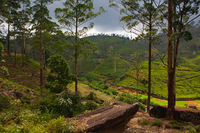 Nuwara Eliya tea plantation before storm, Sri Lanka.