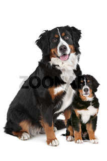 Bernese Mountain dog adult and puppy