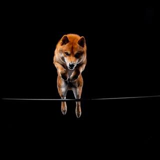 red shiba inu japanese dog on studio