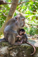 Monkey in forest park in Ubud - Bali Indonesia