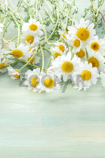Chamomile flowers in bloom on a teal blue wooden background