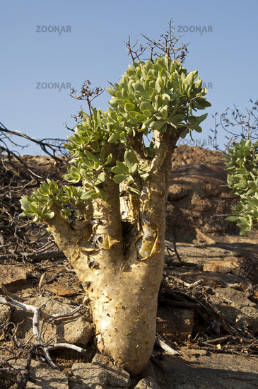 Botterboom or Butter Tree,Richtersveld,South Afric