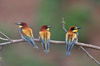 Bienenfresser (Merops apiaster) sitzen auf einem Ast