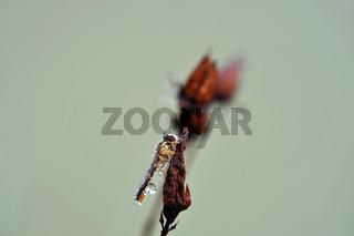 Hainschwebfliege mit Wassertropfen
