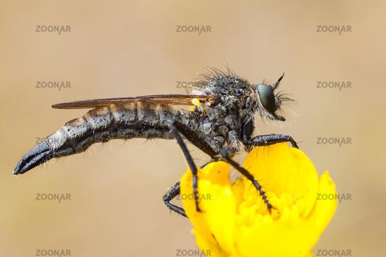 robber fly [family Asilidae]