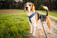 Dog portrait back lit background. Beagle on rural path