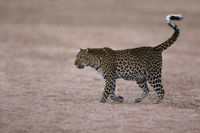 Leopard in riverbed, Zambia, South Luangwa